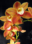 Sequoia Orchids & Redwoods | Bright Orange Red Orchid