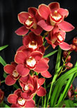 Sequoia Orchids & Redwoods | Gold Margin Orchid