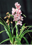 "Sequoia Orchids & Redwoods | Pink Dawn ""Delight"""