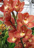 Sequoia Orchids & Redwoods | Red Beauty Stripe Orchid